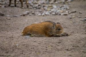 Joskus villisikaakin väsyttää (Kuva: Aki Suomela CC BY-SA 2.0)