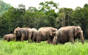 Elefantit Elephant Nature Parkissa (kuva: Elemanxx CC-BY-SA)