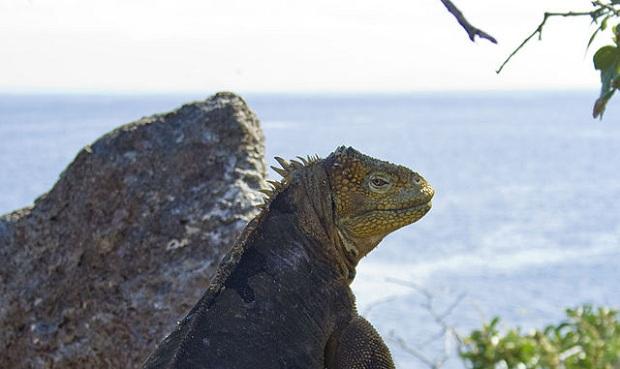 Galápagossaarelainen iguana taustallaan Tyyni valtameri. (kuva: Julian Hammer CC-SA)