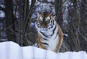 Tiikerit ovat Korkeasaaren yksi vetonaula (Kuva: smerikal CC BY-SA 2.0)