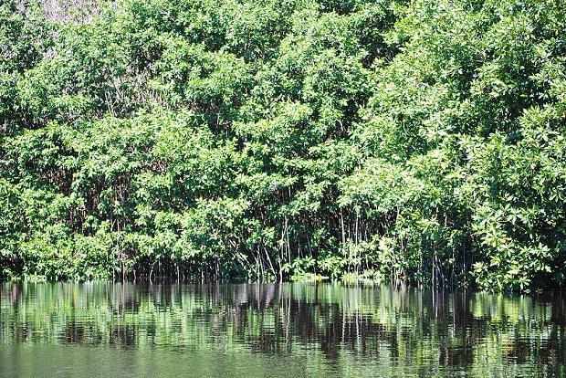Tiheää mangroverämeikköä La Ventanillan kylän lähistöllä. (kuva: Thelmadatter CC-SA)