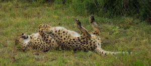 Gepardin selkää kutittaa (Kuva: Caroline Granycome CC BY-SA 2.0)