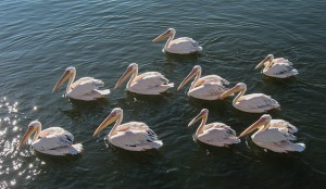 Pelikaanit viihtyvät Walvis Bay -lahdella (Kuva: Caroline Granycome CC BY-SA 2.0)