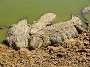 Krokotiilit paistattelevat päivää (Kuva: Manfred Jansen CC BY-ND 2.0)