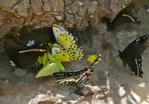 Perhosetkin ovat eksoottisempia tropiikissa (Kuva: Bernard DUPONT CC BY-SA 2.0)